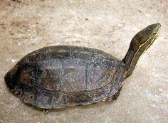 Yunnan box turtle - Cuora yunnanensis   Testudinata.com