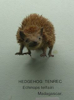 Mysterious floating hedgehog tenrec judges you, Gnommi via Flickr. Horniman Free Museum, Forest Hill, London.