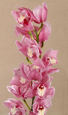 Cymbidium Light Pink 60cm 8 to 11 Blooms (Nathalie. Cindy. Jet Set. Polly. Charisma. Delmonte. Candy King. Rondo) Orchids. - http://yourflowers.us/?p=3171