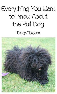 Thinking about getting a Puli? Learn all about this unique dog breed and find out if he's good for your allergies too!