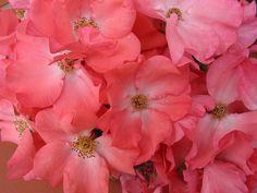 Flower Carpet Coral, closeup of pink blooms | by tesselaarusa