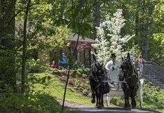 Matt Hickey, owner of Classic Carriages, and horses Doc and Dale give Mother's Day rides through the Edith J. Carrier Arboretum in Harrisonburg on Sunday afternoon. (Photos by Jason Lenhart)