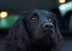 Black Cocker Spaniel, Cocker Spaniel Puppies, Spaniel Breeds, Dog Breeds, Cute Funny Animals, Cute Dogs, Working Spaniel, Doggies, Dogs And Puppies