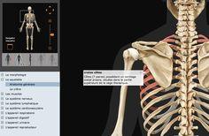 Voici un site web pour les enfants qui posent beaucoup de questions sur le corps humain ou bien pour vous, si vous avez envie de leur en parler plus en détail : il s'agit du site web Corps Humain Visuel : dynamique, ce site web présente en 3D le corps humain sous de multiples facettes (les muscles, les os, l'ensemble des organes de la digestion et je ne peux pas tout citer...) Il suffit de sélectionner l'angle sous lequel on a envie de voir le bonhomme (sur l'exemple ci-dessus, j'ai cliqué…