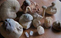 CENTRAL TEXAS FOSSILS 2 by sadler0, via Flickr Dinosaur Bones, Dinosaur Fossils, Nature Collection, Rock Collection, Glen Rose Texas, Native American Tools, Gem Hunt, Fossil Hunting, Texas Vacations