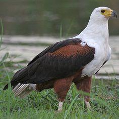 Haliaeetus vocifer (African fish-eagle)                       Visarend