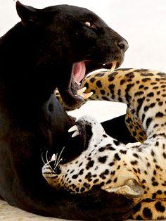 A onça-preta e a onça-pintada pertencem à espécie Panthera onca, diferenciando-se apenas na quantidade de melanina  Foto: Reuters