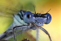 dragonfly images - Google Search