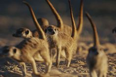 Watchful meerkats scout for predators outside their burrow in the South African Kalahari. Description from petanimalslover.blogspot.com. I searched for this on bing.com/images