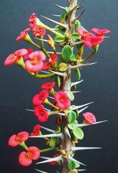 Euphorbia guillemetii hybrid exotic rare madagascar bonsai caudex seed 5 seeds in Home & Garden, Yard, Garden & Outdoor Living, Plants, Seeds & Bulbs, Plants & Seedlings, Cacti & Succulents   eBay