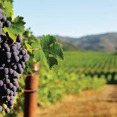Whats your favorite winery in driving distance of San Diego?   #wine #winetasting #vineyard #winelover #winetime #vino #instawine #winestagram #wineoclock #winelovers #redwine #winecountry #winenot #whitewine #winelife #love #vin #wines #wineporn #winesofinstagram #wein #winegeek #winemaker #fun #travel #vinho #wandervictoria #cheers #wino #drinkwine White Wine, Red Wine, Wine O Clock, Wine Time, Wine Drinks, Wine Country, Wine Tasting, Distance, San Diego