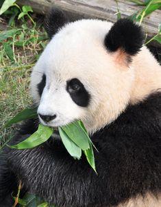 Die Pandas in Chengdu - Anders reisen In China, Chengdu, Panda Bear, Panda Art, Pandas, Travel Advice, Adventure, Panda