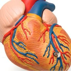 Left ventricular hypertrophy is a condition in which the muscle tissue of the left ventricle gets enlarged. Learn more about the condition and its causes below.... http://www.natural-health-news.com/left-ventricular-hypertrophy-enlargement-of-left-ventricle/
