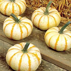 Looking for a unique little pumpkin variety? Lil Pump-Ke-Mon is sure to please with it's orange and green stripes on a white background. Order your Lil Pump-Ke-Mon seeds today from Harris Seeds.