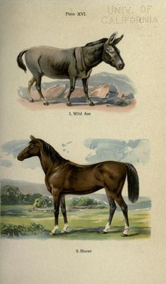 Wild Ass, Horse - high resolution image from old book. Horse Illustration, Nature Illustration, Animal Classification, Vintage Botanical Prints, Fauna, Natural History, Vintage Images, Animal Kingdom, Mammals