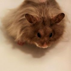 Teddy Bear Hamster | Pet Ruby
