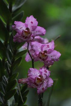 Outra orquídea...