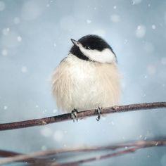 "Fine Art Bird Photography Print ""Chickadee in Snow No. 17"""