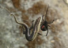 spider, The Black Widow..the most common venomous spider found in the United States..The good news usually not fatal if treated in time!