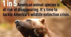 One in five animal and plant species in the U.S.—nearly 1,300 total species—is at risk of extinction. Among mammals, the populations of more than two-thirds of all imperiled species in the U.S., from the wolverine to the polar bear, are falling.