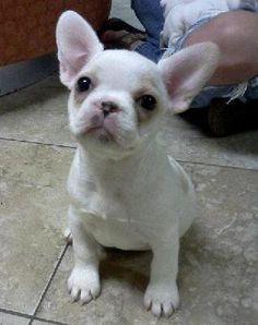 Mexican Frenchie, French Bullhuahua, French Bulldog and Chihuahua mix bred, too cute.