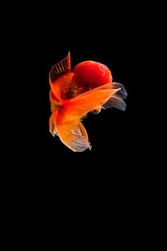 Goldfish, Aquarium, Photograph, Behance, Photoshop, Horses, Graphics, Animals, Life