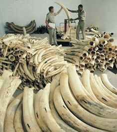 11 Reasons Elephants May Go Extinct Ivory Elephant, African Elephant, Animals With Horns, Ivory Trade, Save The Elephants, Elephant Figurines, Ap Art, Rising Sun, Artists