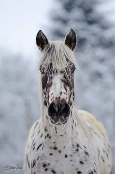 Appaloosa..... Horse manchas...