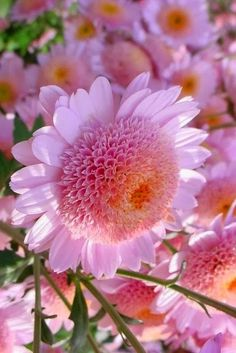 Pink Mums Beautiful