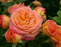 Garden Delight (Palatine Roses)