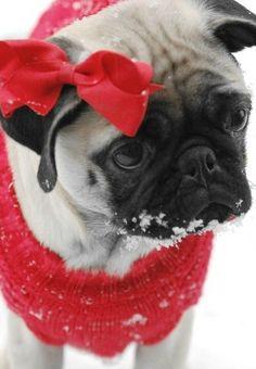 I couldn't resist...cute pug