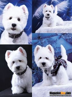 amazing westie dog photography What a perfect baby!