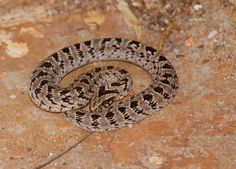What we can find on our very own doorstep...  Rhombic night adder