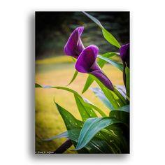 Beautiful Calla Lilies