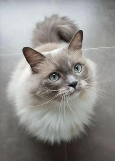 What Cat Breed Is Most Suitable For Me? What Cat Breed Is Most Suitable For Me?,Katzen Not all cat breeds behave alike. Some are more affectionate, playful, easy to maintain and gentle than others. Gatos Ragdoll, Gatos Cats, Ragdoll Cats, Siamese Cat, White Ragdoll Cat, Caracal Cat, Bengal Cats, Sphynx Cat, Common Cat Breeds
