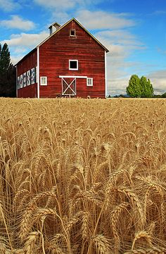 wheat fields and red barn, Yamhill, Oregon.  Photo: bnzai9, via Flickr