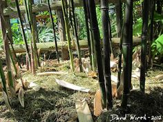 How to Grow Bamboo in Cold Climates  http://davewirth.blogspot.com/2012/05/how-to-grow-bamboo-in-cold-climates.html  Pictures and tips from the past 4 years of trying to grow hearty bamboo in a cold climate like Michigan, Zone 6.  bamboo, cold climate, grove, hearty bamboo, how to grow bamboo, michigan, rhizomes, shoots, transplanted, yellow grove