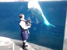 Beluga Whales Stop In Their Watery Tracks To Listen To Musician Playing The Bagpipes. http://laughingsquid.com/beluga-whales-stop-in-their-watery-tracks-to-listen-to-musician-playing-the-bagpipes/