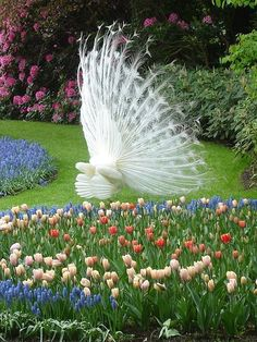 White peacock at the Keukenhof Garden, known as the Garden of Europe, is the world's largest flower garden. It is situated near Lisse, Netherlands. Stunning peacock.