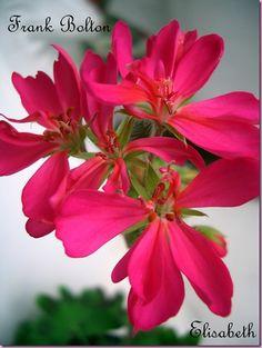 Pelargonium 'Frank Bolton'