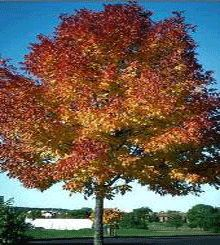 The Autumn Purple Ash turns from a glossy green into red and finally to a brilliant purple in the fall. The Purple Ash holds its fall color longer than almost any other tree. Large leaves block sunlight, cutting your cooling bills. A regal looking ornamental tree that makes a great focal point for your lawn.