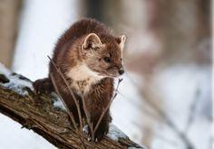 American Marten, Pine Marten, Super Cute Animals, Newfoundland, Otters, Predator, Animals Beautiful, Mammals, Animals And Pets