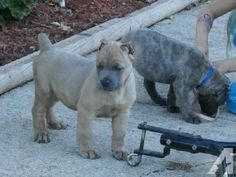 blue heeler puppies for sale in ohio Cute Baby Animals