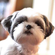 My best Shih Tzu face