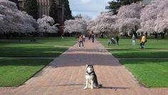 Dubs: the official mascot of the University of Washington Huskies!
