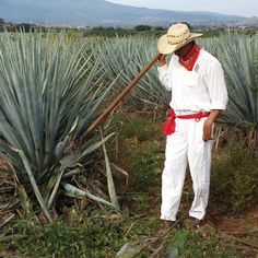 Chemicals found in blue agave help with bone density and nutrient absorption.