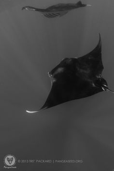 cad4f69ec89826 Flight of the giant oceanic manta rays during the recent PangeaSeed whale  shark expedition in