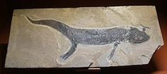 Branchiosaurus Salamandroides fossil.  Branchiosaurus is a genus of small, lightly built early prehistoric amphibians. Fossils have been discovered in strata dating from the late Pennsylvanian Epoch to the Permian Period.