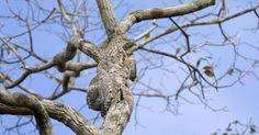 Quem está escondido na árvore? É uma ave conhecida como urutau-grande