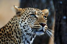 images of leopards - Google Search